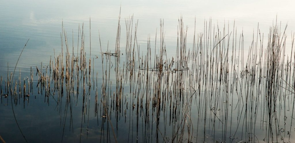 Grasses-in-pond
